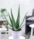 XXL Aloe Vera, 40-50 cm hoch,1 Pflanze (1)
