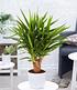 Yuccapalme - verzweigt,1 Pflanze (1)