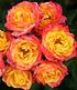 "Zwergrose ""Little Sunset®"", 1 Pflanze (1)"