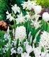"""Zwiebel-Mix """"Garden White"""",25Zwiebeln (1)"""