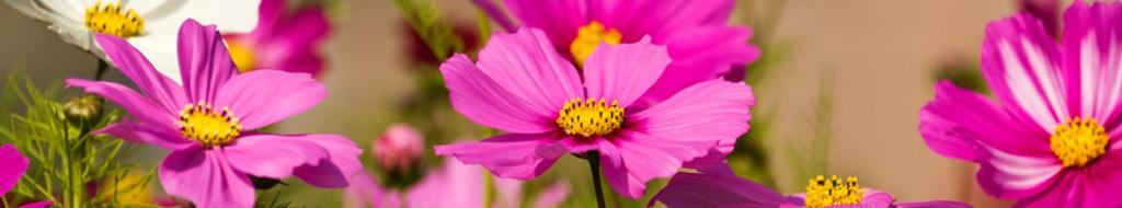 Beliebte Sommerblumen