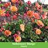 Mein schöner Garten Schneckensicheres Staudenbeet, 20 Pflanzen (9)