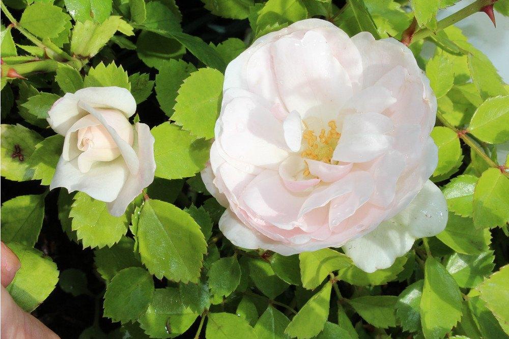 rose sea foam weisse bodendeckerrose g nstig online kaufen mein sch ner garten shop. Black Bedroom Furniture Sets. Home Design Ideas