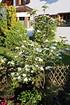 Cornus Venus (Blumenhartriegel) (6)