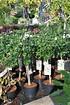 Echter Roseneibisch (Hamabo) Stamm - Hibiscus syriacus Hamabo (6)