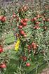 Lubera Apfel Paradis® Utopia® Hochstamm (6)