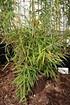 Lubera Schirmbambus 'Jumbo', Starke Pflanze im großen 10l Topf (6)