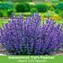 Mein schöner Garten Duftendes Staudenbeet, 22 Pflanzen (6)