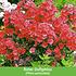 """Mein schöner Garten Gartenbeet """"Insektenweide"""", 31 Knollen + 1 Pflanze (6)"""