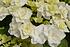Mein schöner Garten Hortensien Doppio 2-er Set 'Pastel Delight' (6)