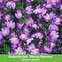 Mein schöner Garten Niedrige Staudenklassiker, 14 Pflanzen (6)