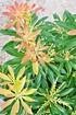 Schattenglöckchen (Forest Flame) - Pieris japonica Forest Flame (6)