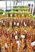 Weide 4-fach geflochten (hell) Säule XL - Salix alba (6)