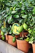 Zitronenbaum aus Italien - Citrus (6)