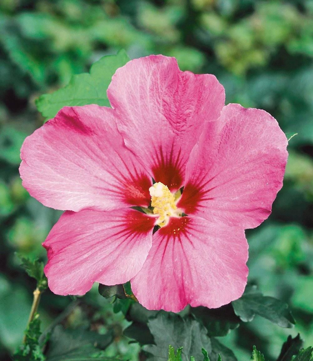 """Mein schöner Garten Hecken-Set """"Blütenhecke Hibiskus""""; 15 ..."""