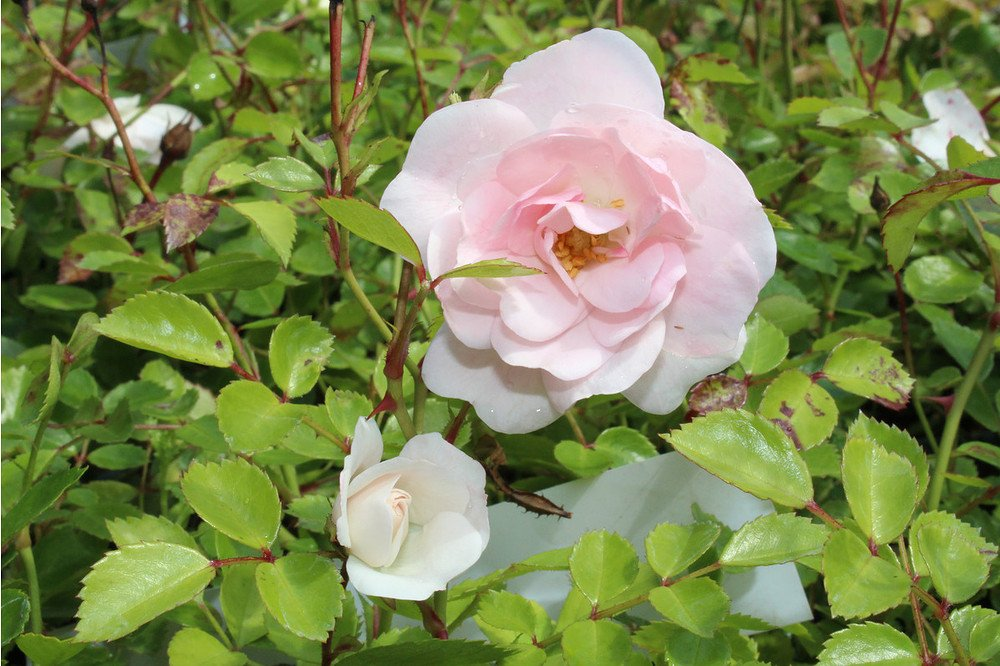 rose sea foam weisse bodendeckerrose g nstig online. Black Bedroom Furniture Sets. Home Design Ideas