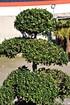 Gartenbonsai (Ilex-Bonsai, Christdorn) - Ilex crenata (5)