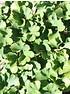 Ginkgo (Fächerblattbaum, Mädchenhaarbaum) (5)