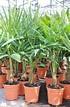 Hanfpalme (Fortunei) winterhart - Trachycarpus fortunei (5)