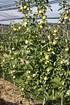 Lubera Apfel Bionda Patrizia als Hochstamm, 3-jähr Hochstamm (5)