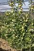 Lubera Easytree: Apfel Bionda® Patrizia (5)