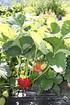 Lubera Erdbeere Parfum SchweizerDuft® 6er Träger (5)