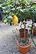 Lubera Zitrone Vierjahreszeiten 'Lunario' (5)