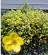 Mein Schöner Garten Bienenfreundliche Hecke im Set, 5 Pflanzen (5)