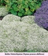 Mein schöner Garten Bodendecker-Set Thymian, 9 Pflanzen (5)
