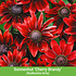 """Mein schöner Garten Staudenbeet """"Blooms for Months"""", 29 Pflanzen (5)"""