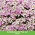 """Mein schöner Garten Staudenbeet """"Sunshine"""", 20 Pflanzen (5)"""