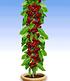 Obst für Balkon & Terrasse,5 Pflanzen (5)