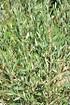 Olivenbaum (Hojiblanca) Busch frosthart - Olea europea Hojiblanca (5)