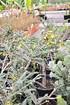 Schnurrbaum (Sophora 'Sun King') - Sophora prostrata Little Baby (5)