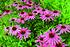 Staudenbeet Ausgewogener Andrang, 12 Pflanzen (5)