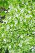 Taschentuchbaum (Taubenbaum) - Davidia involucrata (5)