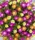 Winterharte Eisblumen Summer Mix,3 Pflanzen (5)