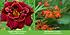 """Mein schöner Garten Gartenbeet """"Insektenweide"""", 31 Knollen + 1 Pflanze (10)"""