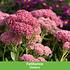 Mein schöner Garten Schneckensicheres Staudenbeet, 20 Pflanzen (10)