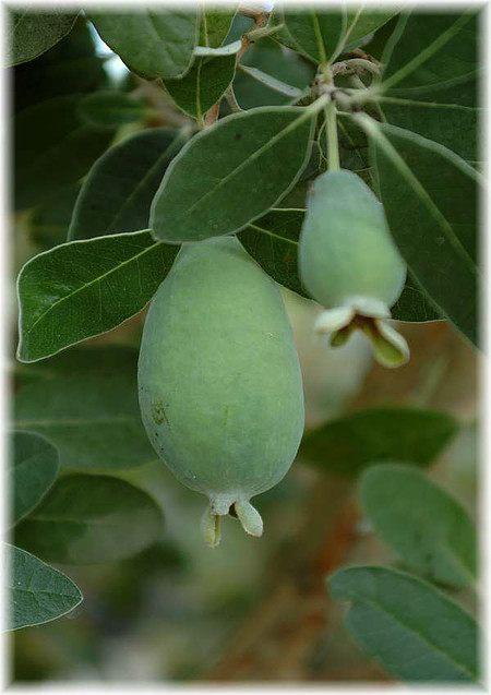 Brasilianische (Ananas) Guave Acca sellowiana ´Triumph
