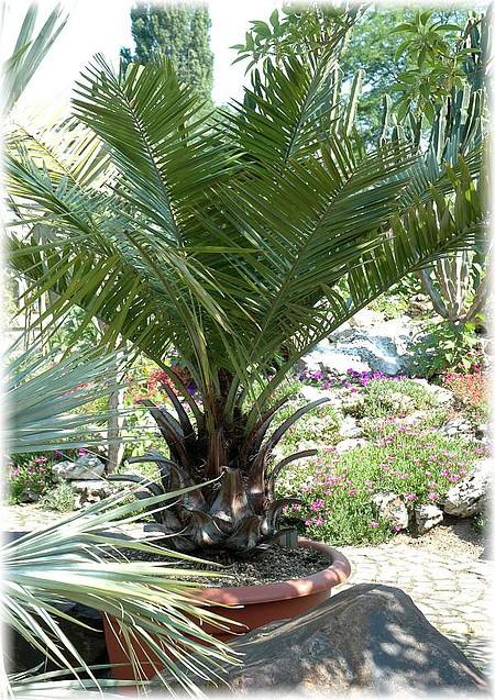 chilenische honig palme jubaea chilensis g nstig online. Black Bedroom Furniture Sets. Home Design Ideas