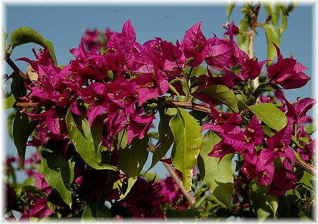 drillingsblume bougainvillea glabra sanderiana g nstig. Black Bedroom Furniture Sets. Home Design Ideas