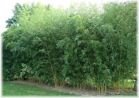 gold bambus phyllostachys aurea g nstig online kaufen. Black Bedroom Furniture Sets. Home Design Ideas