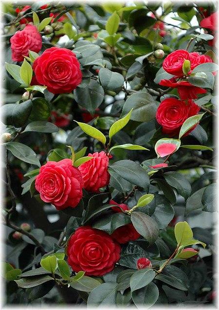 kamelie camellia japonica black lace g nstig online kaufen mein sch ner garten shop. Black Bedroom Furniture Sets. Home Design Ideas