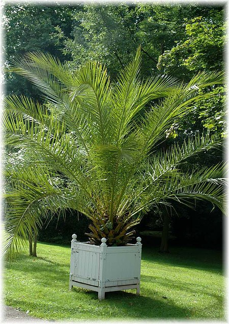 kanarische dattel palme phoenix canariensis g nstig online kaufen mein sch ner garten shop. Black Bedroom Furniture Sets. Home Design Ideas