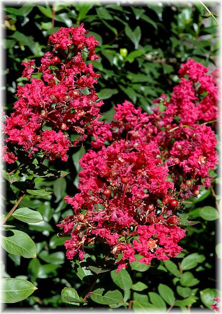 kreppmyrte lagerstroemia indica rubra magnifica g nstig online kaufen mein sch ner garten shop. Black Bedroom Furniture Sets. Home Design Ideas