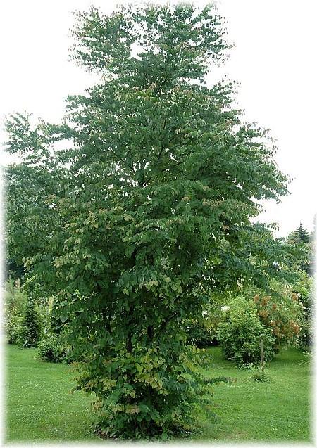 Lebkuchenbaum katsurabaum cercidiphyllum japonicum - Lebkuchenbaum kaufen ...