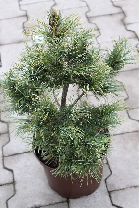 Lubera Mädchenkiefer 'Schoon's Bonsai, Pflanze im 2 l-Topf ...