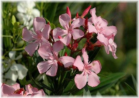 oleander nerium oleander g nstig online kaufen mein sch ner garten shop. Black Bedroom Furniture Sets. Home Design Ideas