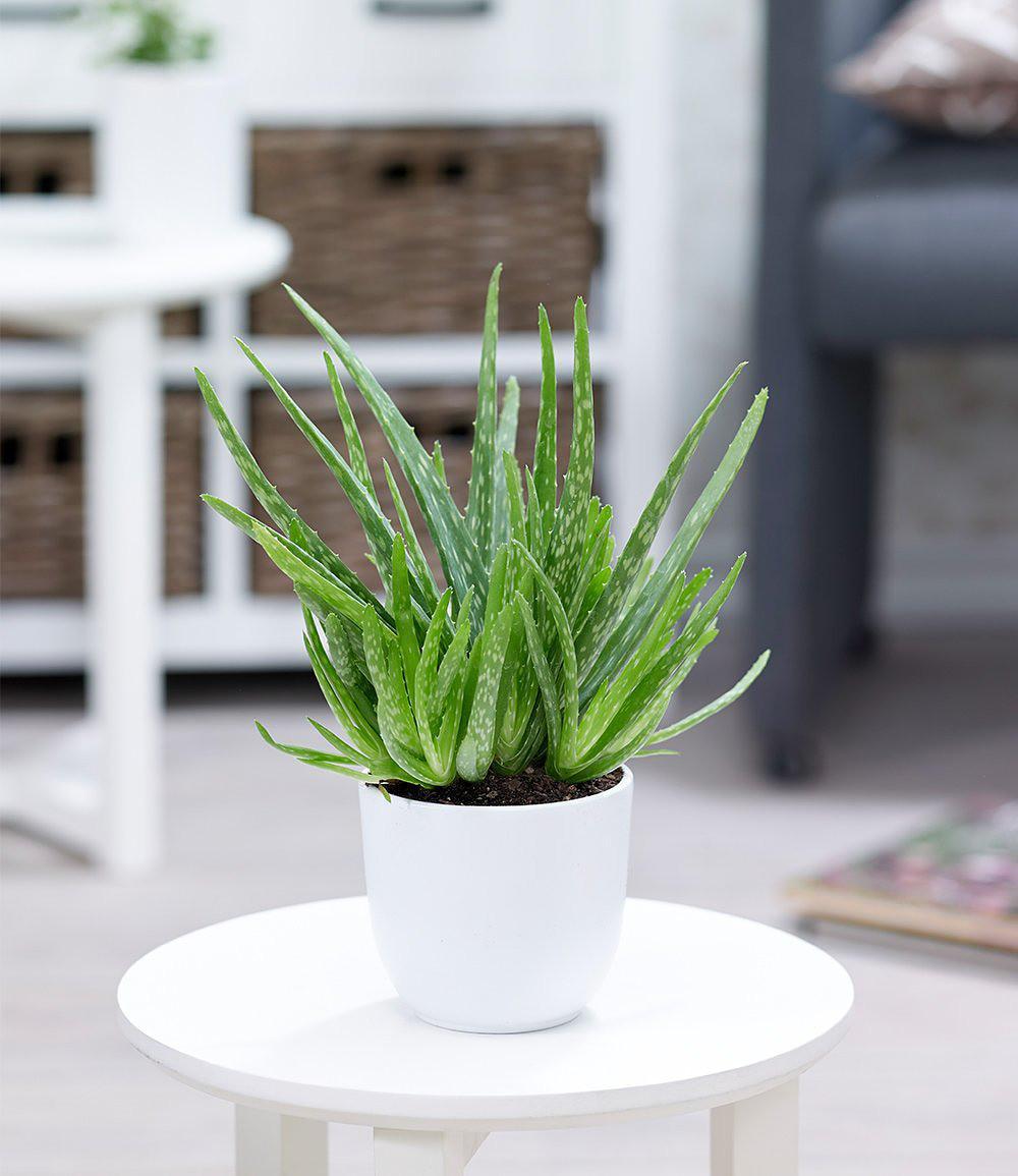 aloe vera 1 pflanze g nstig online kaufen mein sch ner. Black Bedroom Furniture Sets. Home Design Ideas
